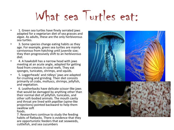 What sea Turtles eat: