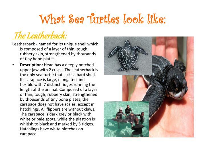 What Sea Turtles look like:
