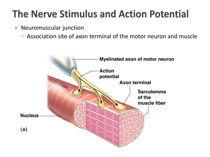 The Nerve Stimulus and Action Potential