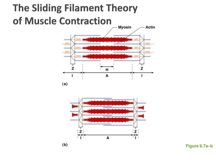 The Sliding Filament Theory