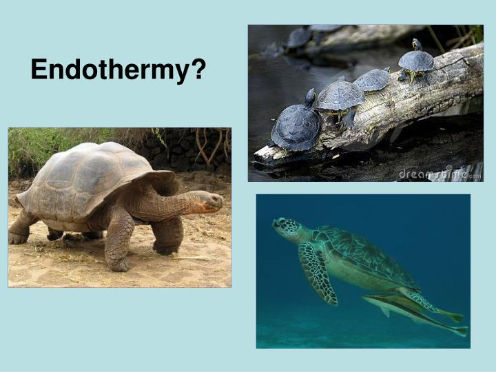 Endothermy?