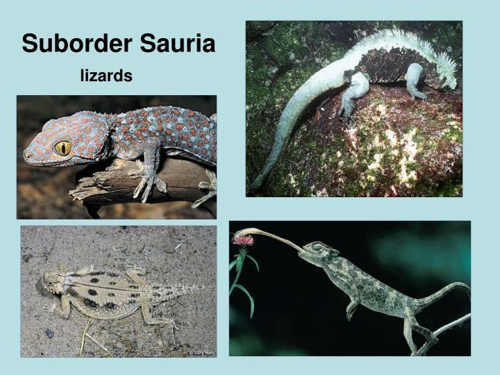 Suborder Sauria
