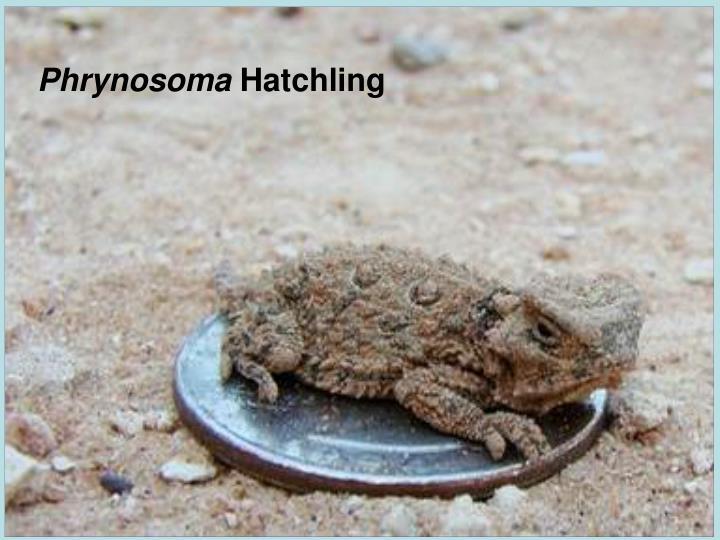 Phrynosoma