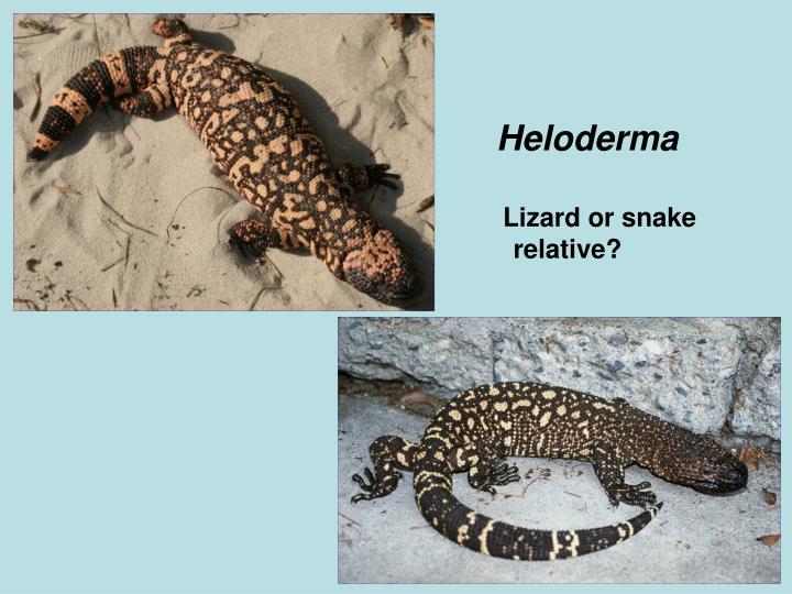 Heloderma