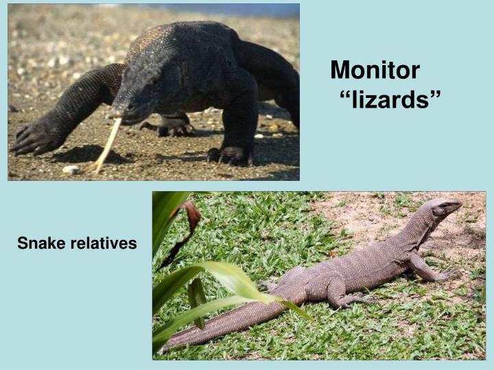 "Monitor ""lizards"""