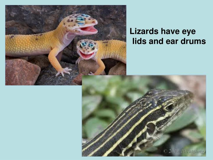 Lizards have eye lids and ear drums