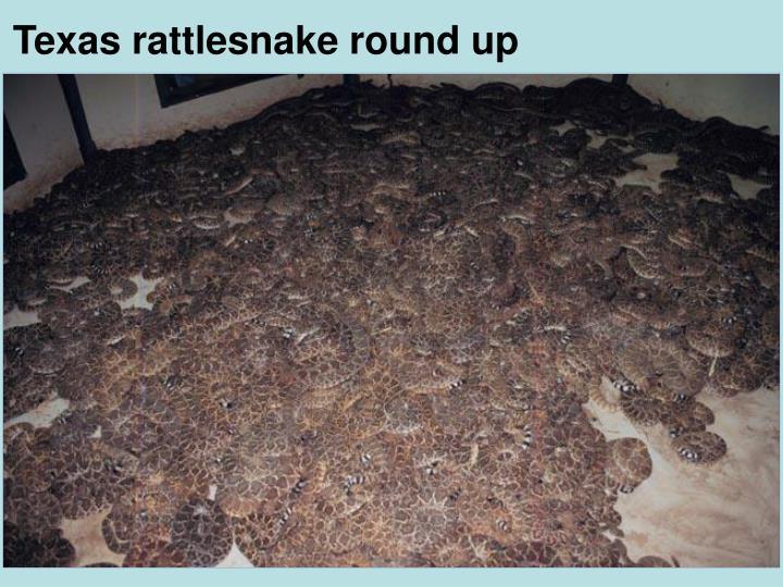 Texas rattlesnake round up