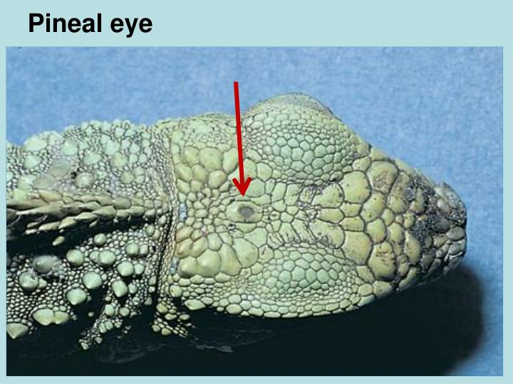 Pineal eye