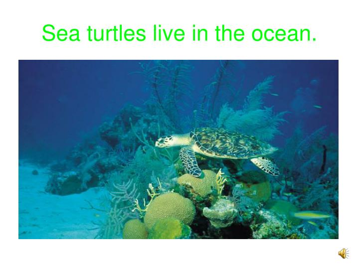 Sea turtles live in the ocean