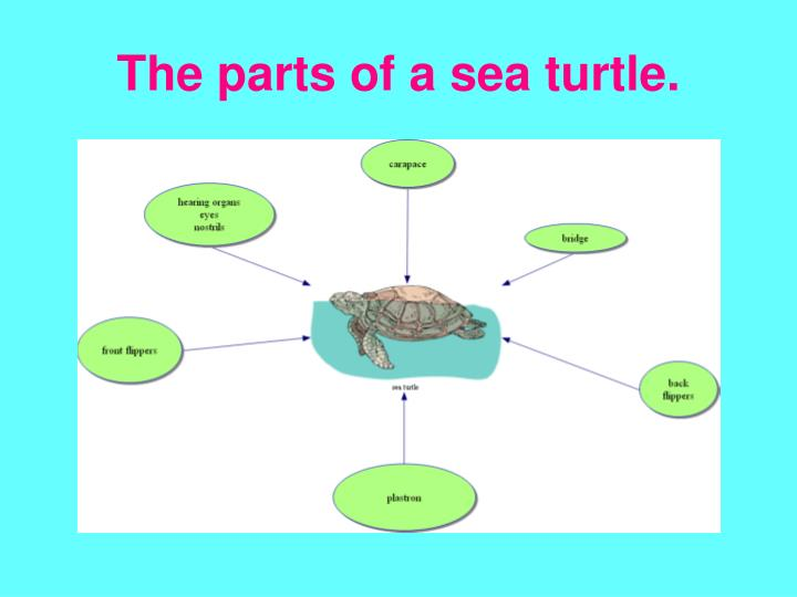 The parts of a sea turtle.