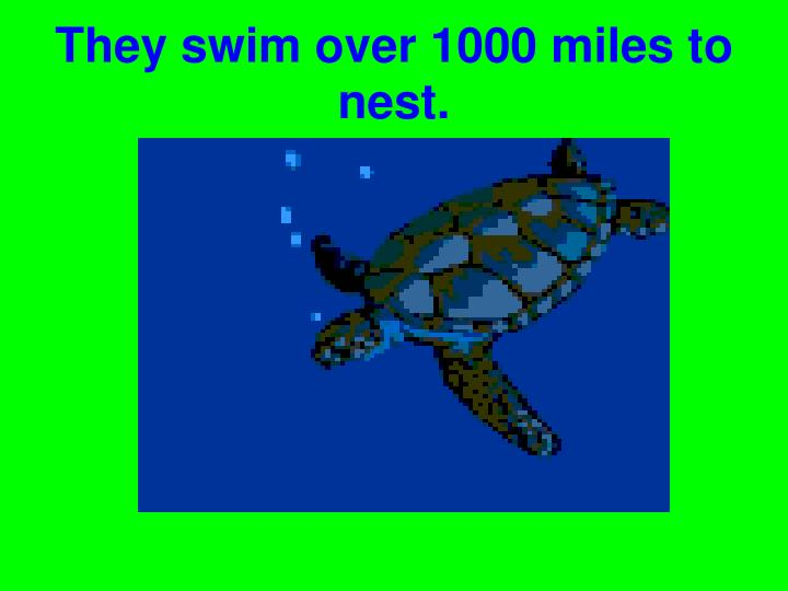 They swim over 1000 miles to nest.