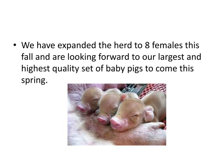 We have expanded the herd to 8 females this fall and are looking forward to our largest and highest quality set of baby pigs to come this spring.