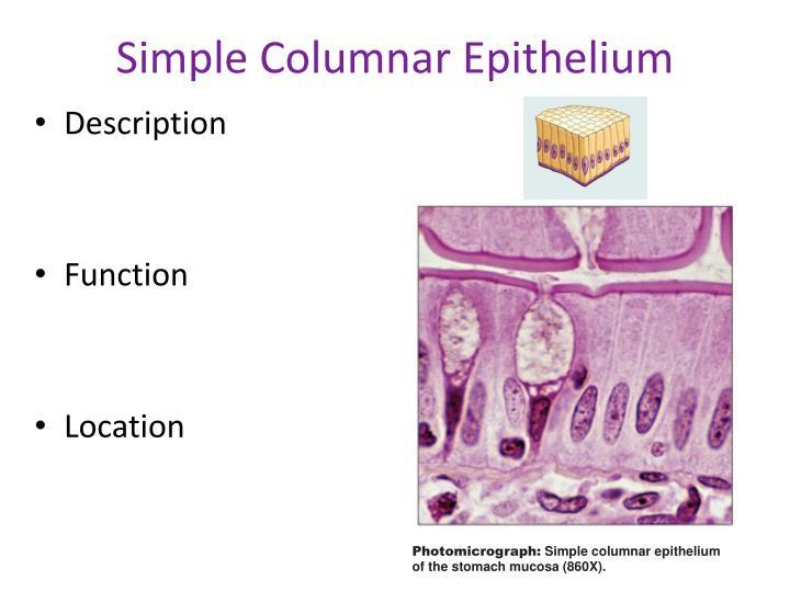 Simple Columnar Epithelium