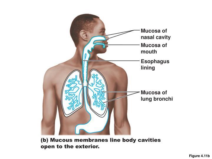 Mucosa of