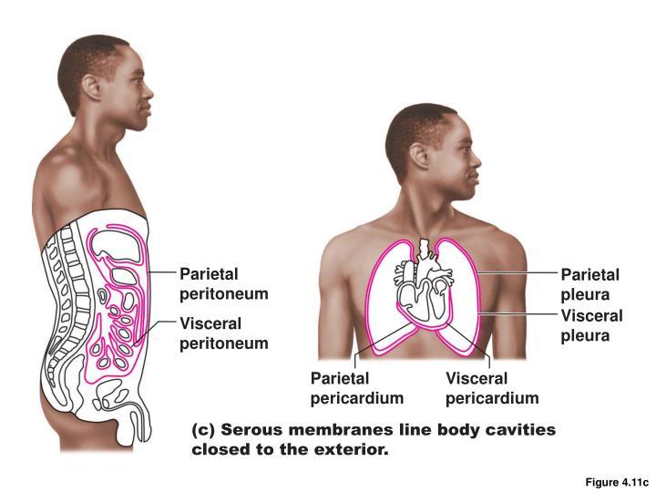 Parietal