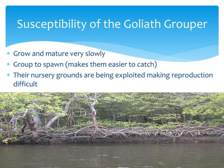 Susceptibility of the Goliath Grouper