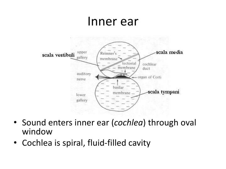 Inner ear