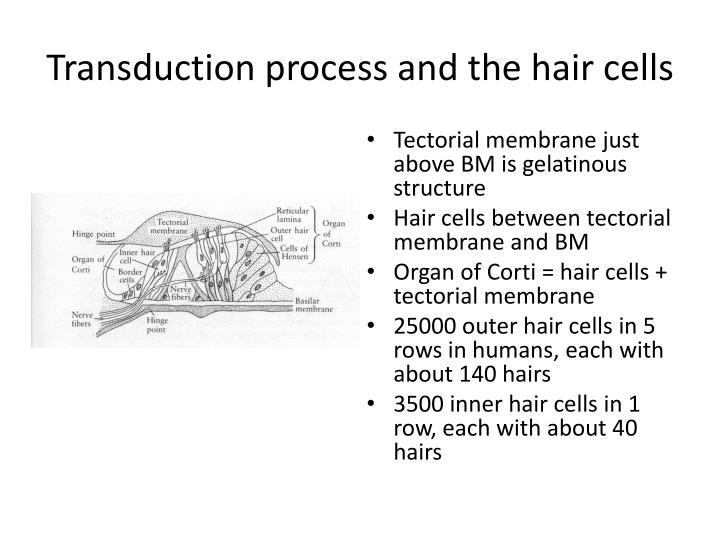 Transduction process and the hair cells