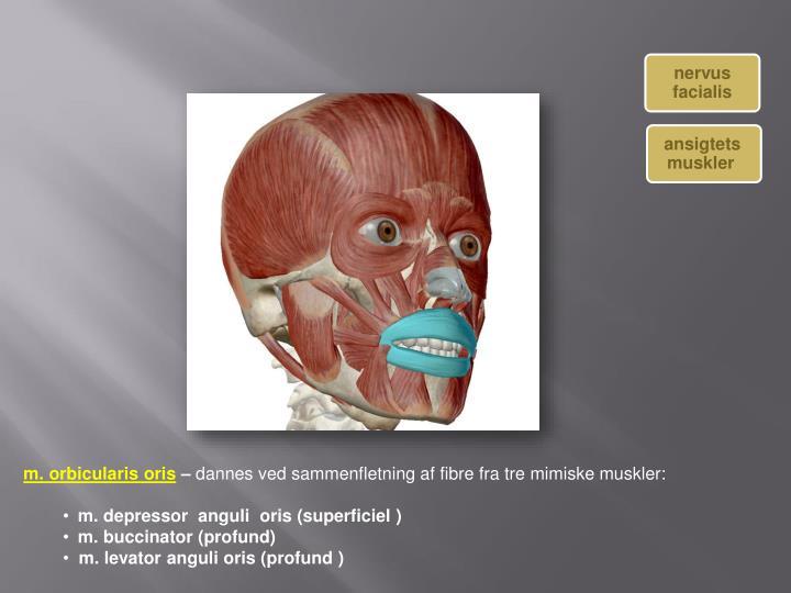ansigtets  muskler