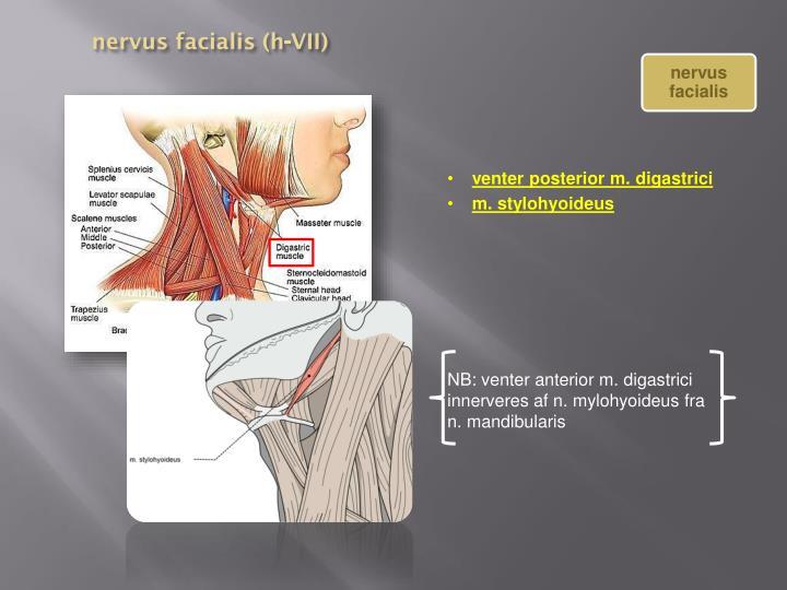 nervus