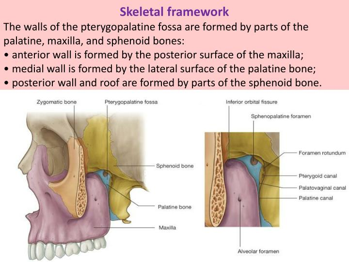 Ppt Infratemporal Amp Pterygopalatine Fossae Powerpoint
