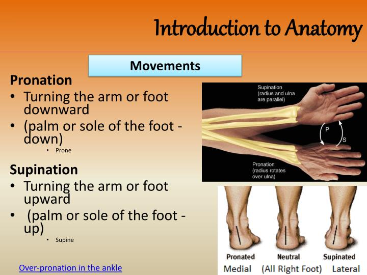 Anatomic Position Definition Of Anatomic Position By 8132334