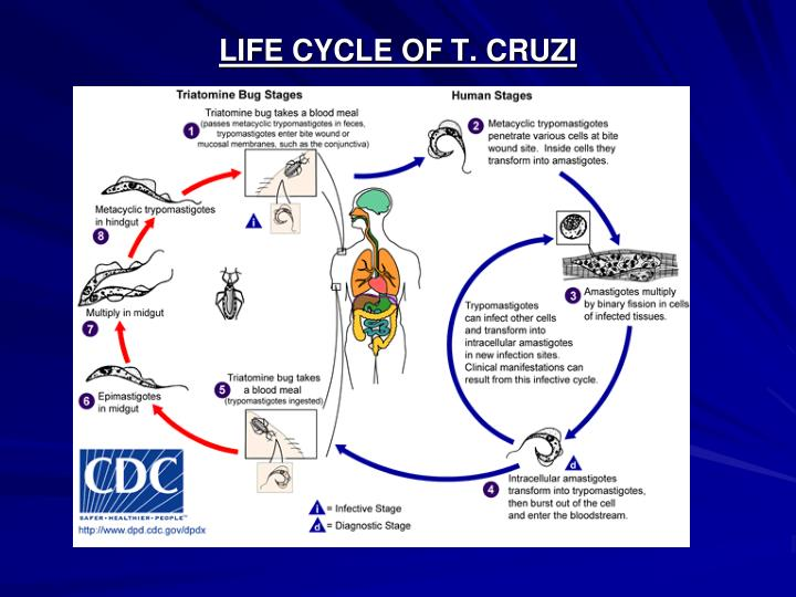 LIFE CYCLE OF T. CRUZI
