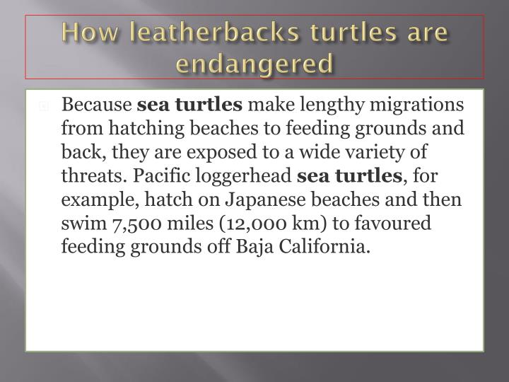 How leatherbacks turtles are endangered