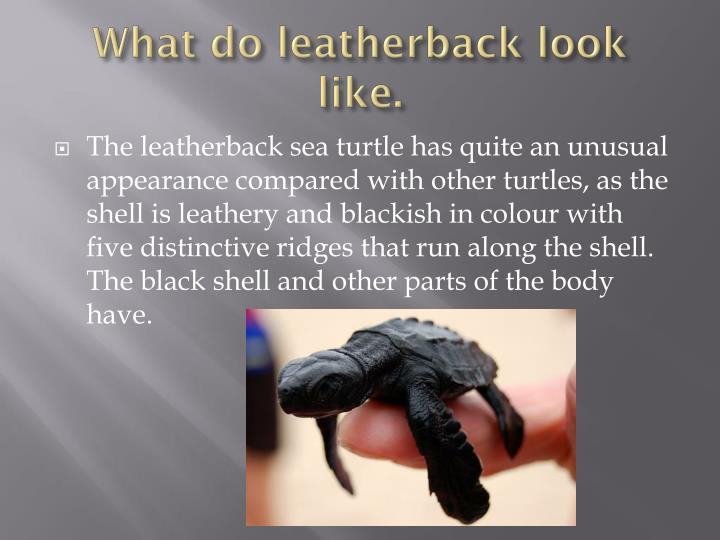 What do leatherback look like