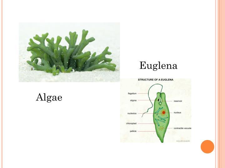 Euglena
