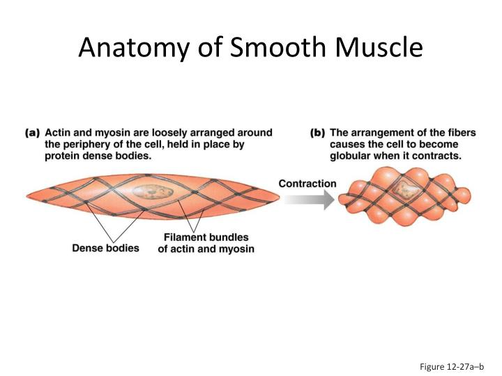 Anatomy of Smooth Muscle