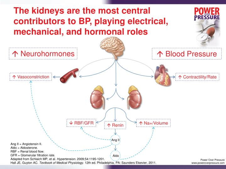The kidneys are the most central contributors to BP, playing electrical, mechanical, and hormonal roles