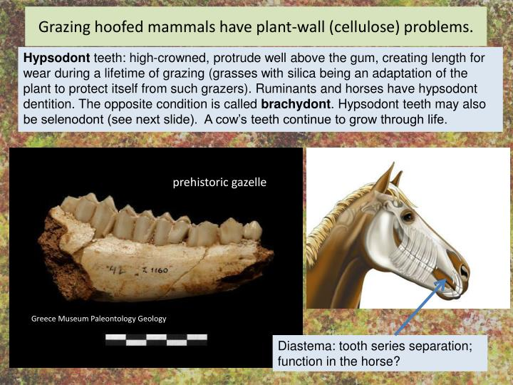 Grazing hoofed mammals have plant-wall (cellulose) problems.