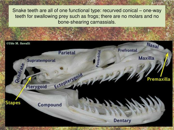 Snake teeth are all of one functional type: recurved conical – one-way teeth for