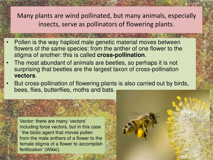 Many plants are wind pollinated, but many animals, especially insects, serve as pollinators of flowering plants.