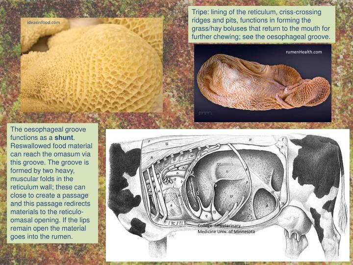 Tripe: lining of the reticulum,