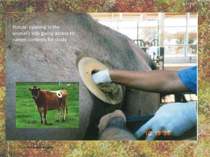 Fistula: opening in the animal's side giving access to rumen contents for study