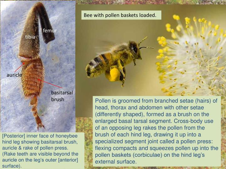 [Posterior] inner face of honeybee hind leg