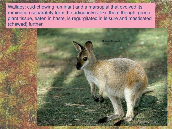 Wallaby: cud-chewing ruminant and a marsupial that evolved its rumination separately from the artiodactyls: like them though, green plant tissue, eaten in haste, is regurgitated