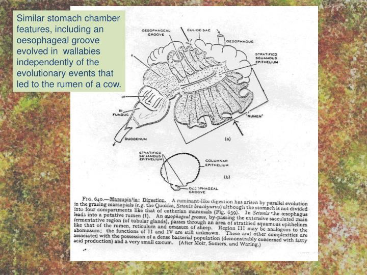 Similar stomach chamber features, including an