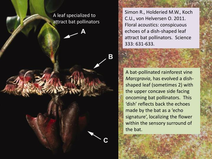 Simon R., Holderied M.W., Koch C.U., von Helversen O. 2011. Floral acoustics: conspicuous echoes of a dish-shaped leaf attract bat pollinators.  Science 333: 631-633.