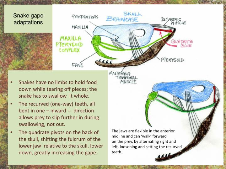 Snake gape adaptations