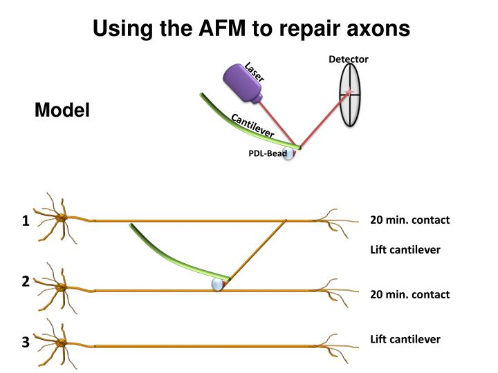 Using the AFM to repair axons
