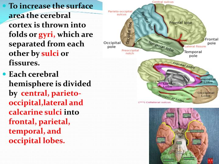 To increase the surface area the cerebral cortex is thrown into folds or