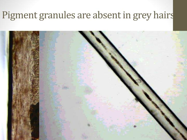 Pigment granules are absent in grey hairs