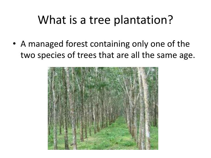 What is a tree plantation?