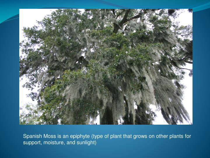 Spanish Moss is an epiphyte (type of plant that grows on other plants for support, moisture, and sunlight)