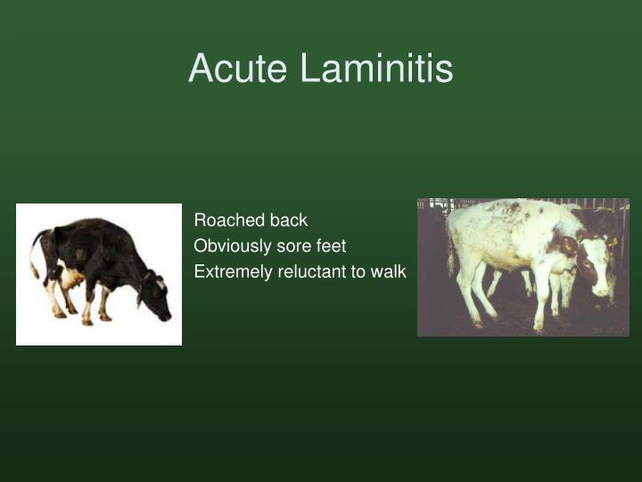 Acute Laminitis