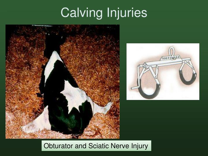 Calving Injuries