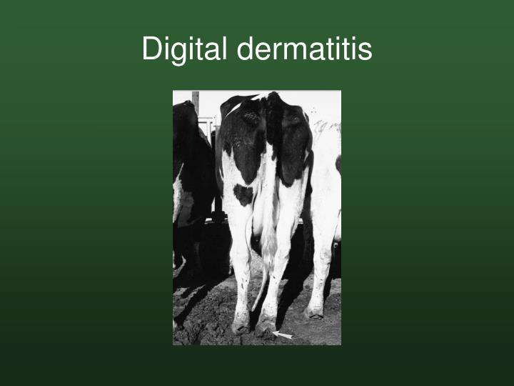 Digital dermatitis